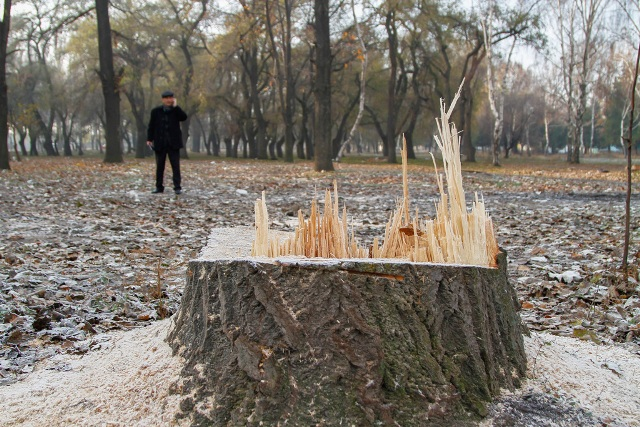 В жилом массиве «Ак-Тилек Турбаза» злоумышленники вырубали деревья