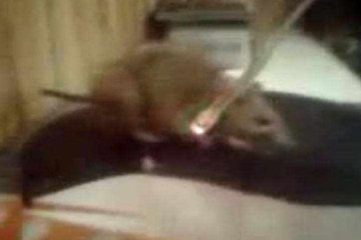 Огромная крыса гуляет по столу в одной из точек быстрого питания в Бишкеке