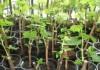 Сариев поручил высадить казахстанской KAZ Minerals 100 тыс. плодовых деревьев близ Бозымчака до 2029 года