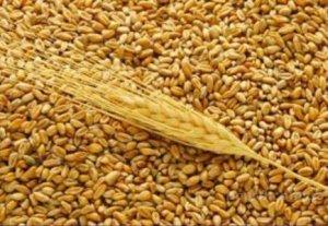 Сотрудники Фонда госматрезервов подозреваются в незаконном выделении кредита в виде 1 тысячи тонн пшеницы