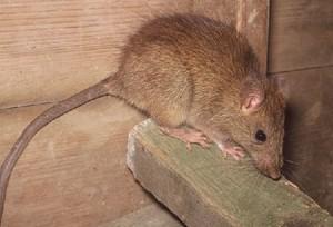 Растет число укусов бишкекчан крысами