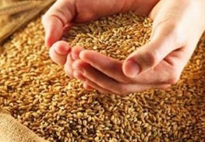В Нарынской области завершилась уборка зерновых колосовых