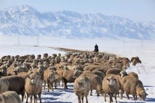 Племенных животных предлагают покупать через лизинг в Кыргызстане