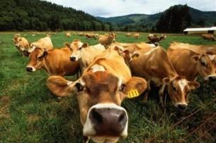 В Тонском районе задержан скотокрад
