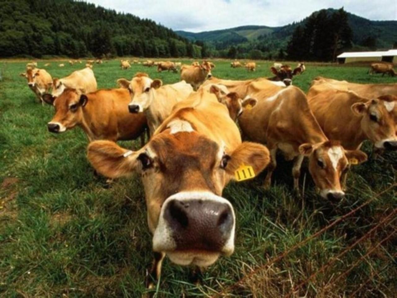 якутские и русские коровы | Галереи.Ykt.Ru | 960x1280