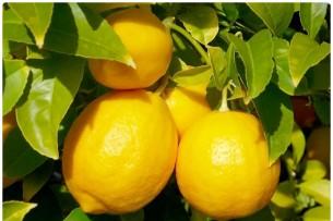 Как получить электричество из лимонов. Процесс с фото