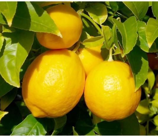 В Кыргызстан не пропустили контрабандные лимоны на 120 тыс. сомов