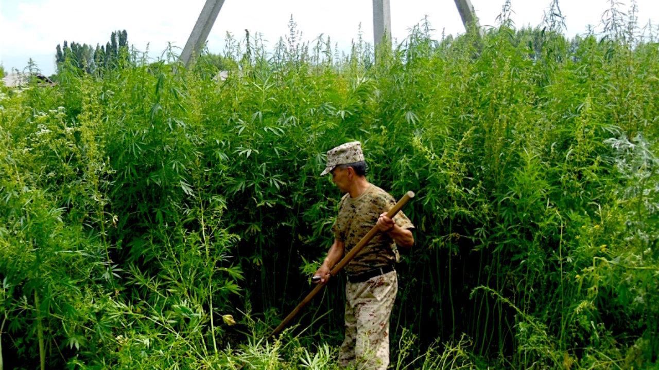 Конопля в киргизии марихуана саранск