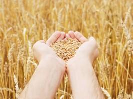 Цены на пшеницу в Кыргызстане за год повысились почти на 40 процентов
