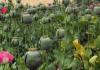 За сутки изъято более 80 кг наркотиков: возле детской площадки выращивали более 700 кустов опийного мака