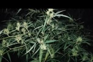 Более 1 тонны марихуаны посадил у себя в огороде житель Сокулукского района (видео)