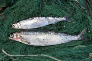 За незаконный перевоз ценной рыбы браконьер оштрафован почти на 60 тыс. сомов