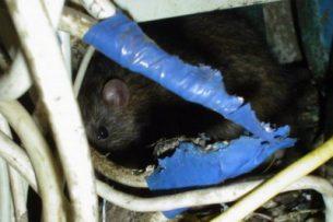 На энергообъектах идет борьба с грызунами, которые повреждают изоляцию кабеля