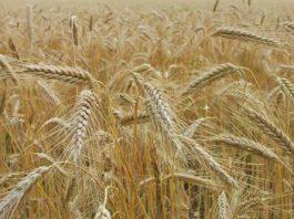 В Кыргызстане посевная площадь сельскохозкультур увеличилась на 8,3 тыс. гектаров