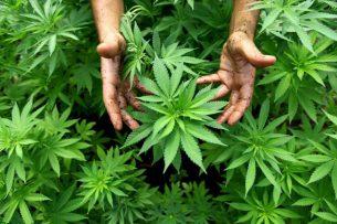 Правительство Аргентины легализовало марихуану в медицинских целях