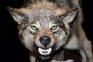 «Выбора не было — или он, или волк».   Мужчина порвал пасть хищнику голыми руками