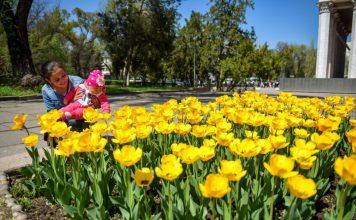В Бишкеке высадили 13 тыс. тюльпанов