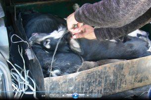 За что жестоко убили 8 собак бишкекчанки? Горожане требуют наказать живодера МП «Тазалык» (видео)