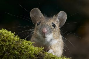 Россия создаст гуманизированных мышей для испытания вакцины против COVID-19