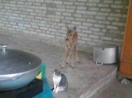 Житель Жайыльского района держал у себя дома олененка, занесенного в Красную книгу