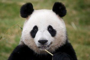 В этом году в Китае на свет появились 42 панды
