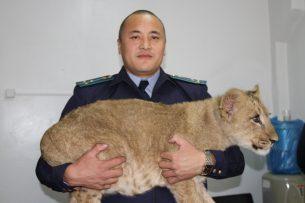В Бишкеке неизвестные подбросили львенка к дому директора фонда «Бугу-Эне»
