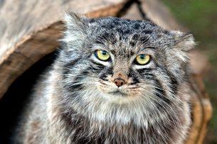 В Кыргызстане осталось всего 20 хищных кошек-манулов
