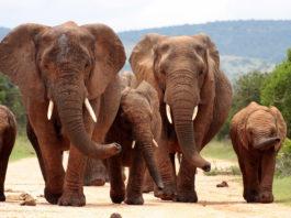 Слоненок попытался «разбудить» свою мертвую мать
