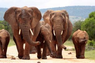 Слоны отомстили браконьерам: одного растоптали