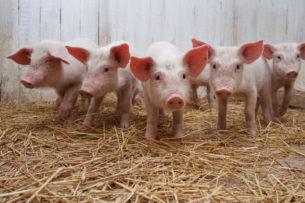 Грызуны и свиньи могут дышать через задний проход: это происходит в экстренных случаях