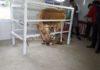 Жители Баткенской области успешно осваивают осеменение крупного рогатого скота