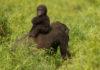 Ученые недооценили численность шимпанзе и горилл Западной Африки