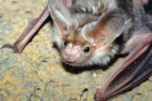 Месть за коронавирус: перуанцы начали истреблять летучих мышей