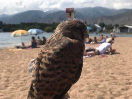 Активисты призывают туристов не фотографироваться с хищными птицами на иссык-кульских пляжах