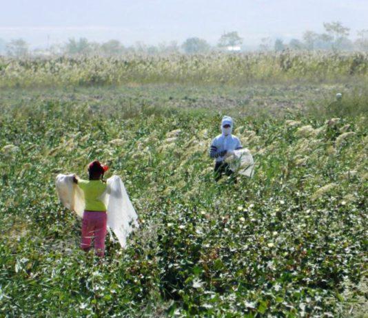 Взрослые не идут на сбор урожая. В Бишкеке обсуждают искоренение детского труда путем анализа производственно-сбытовых цепочек