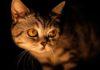 В Петербурге зоофил изнасиловал кошку
