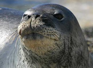Тюлень пытался поплавать на байдарке. Что из этого вышло?  (Видео)