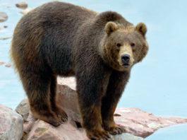 Очевидцы сняли на видео сидящего под забором медведя