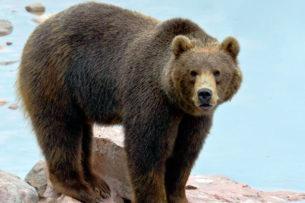 Медведи «ограбили» два магазина в Калифорнии (видео)