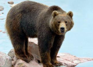 В ущелье Боо-Жетпес волки загрызли краснокнижного бурого медведя