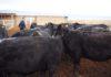 Фермерам Таласской области предоставят в лизинг быков редких пород