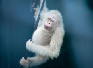 В Индонезии отпустили на волю единственного в мире орангутана-альбиноса