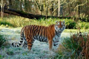 В зоопарке тигр попытался напасть на ребенка