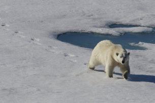 Шокирующее видео: Белый медведь догнал и съел медвежонка. Каннибализм среди животных усиливается