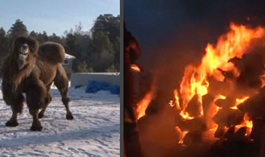Прокуратура заинтересовалась сожжением верблюдов байкальскими шаманами. Скандал разразился на всю Россию