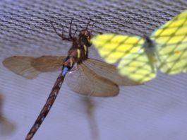 За 30 лет скорость вымирания насекомых резко выросла. Биомасса летающих насекомых сократилась на 76%