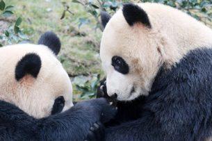 Коронавирус совершил «чудо» с пандами в Гонконге