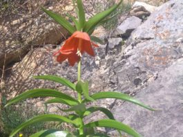 В Баткене на две недели расцвел уникальный цветок Айгуль