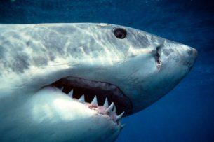 Тюленёнок перехитрил охотившуюся на него акулу и пристроился к её хвосту