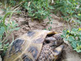 На юге Таджикистана «эвакуируют» черепах